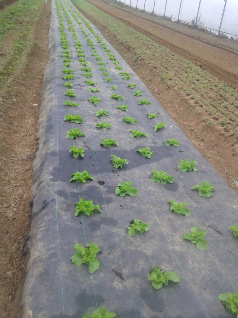 salade maraîchage bio biologique